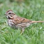 Song Sparrow (Melospiza melodia) — Stock Photo #11365221