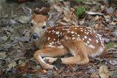 Ak kuyruklu geyik geyik yavrusu — Stok fotoğraf