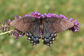 Female Tiger Swallowtail (papilio glaucas) — Stock Photo