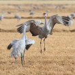 Sandhill Cranes Courting — Stock Photo #11737100