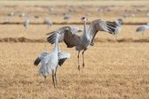 Sandhill Cranes Courting — Stock Photo