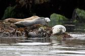 Harbor Seals Backing In The Sun — Stock Photo