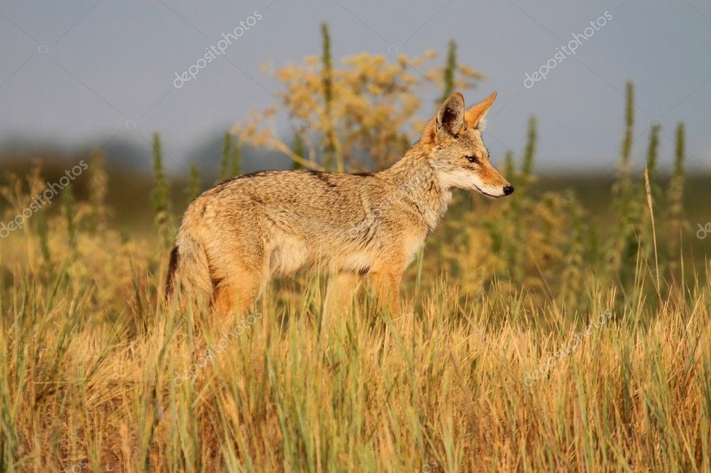 Western Coyote (Canis latrans) in northern California  Stock Photo #12394865