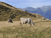 Cows grazing on an alpine pasture — Stock Photo