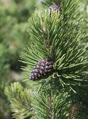 Dwarf Mountain Pine cone — Stock Photo