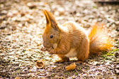 Little squirrel — Foto Stock