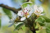 苹果树上的花 — 图库照片