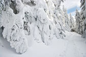 Spruces covered by snow — Stock Photo