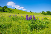 Landscape with lupines — Stock Photo