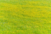 Grass with yellow flowers — Stock Photo