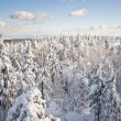 Forest covered by snow — Stock Photo