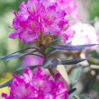 Stock Photo: Rhododendron 2