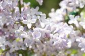 Sfondo floreale dei primi fiori di primavera da vicino — Foto Stock