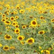 Field of sunflowers — Stock Photo #11598240