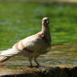 Grey dove — Stock Photo