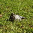 Grey dove — Stock Photo #11729416