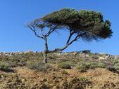 Stare drzewo bukowe ukosu wiatr — Zdjęcie stockowe