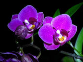 Two orchids — Stock Photo