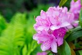 Pink Rhododendron close-up, selective focus — Stock Photo
