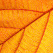 Orange leaf closeup - 