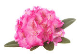 Rhododendron blossom — Stock Photo