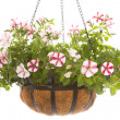 Petunia in basket - Photo