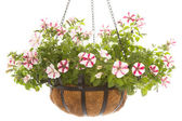 Petunia in basket — Stock Photo