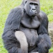 Silverback gorilla — Stock Photo #12251873