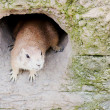 Prairie dog in den — Stock Photo
