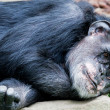 Lying chimp — Stock Photo