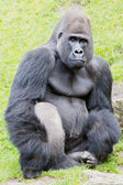 Silverback gorilla — Stock Photo