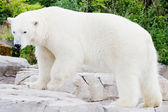 Standing ice bear — Stockfoto