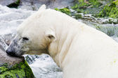 Ice bear in the water — Stock Photo