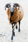 Cameroon ram — Stock Photo