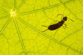 Green leaf texture with earwig — Stock Photo