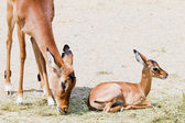 Young impala with mother — Стоковое фото