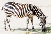 Eating zebra — Stock Photo