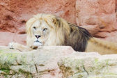 Lion on a rock — Stock Photo