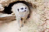 Meerkat in front of a den — Stock Photo