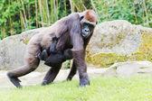 Gorilla med baby — Stockfoto