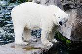 Ice bear on rock — Stock Photo