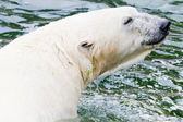 Ice bear in the water — Foto de Stock
