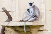 Macacos Langur — Fotografia Stock