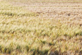 Cornfield in sunlight — Stock Photo