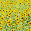 Field with sunflowers — Stock Photo #12381158