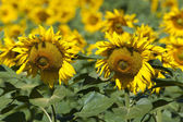 Sunflowers, Villarcayo, Merindades, Burgos, Castilla y Leon, Spa — Stock Photo