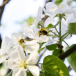 The bee and bumblebee pollinate an apple-tree — Stock Photo