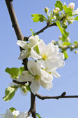 Gentle flowers of an apple-tree — Stock Photo