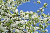Dolci fiori di un albero di mele — Foto Stock