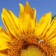 Sunflower close-up — Stock Photo